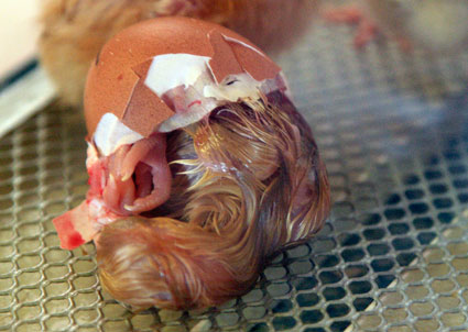 chicks3995