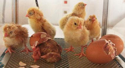 chicks3999