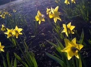 daffodils04683