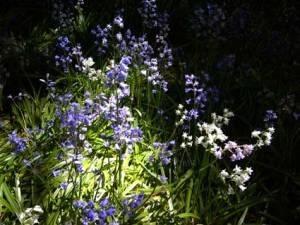 bluebells04945