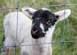 lamb2394