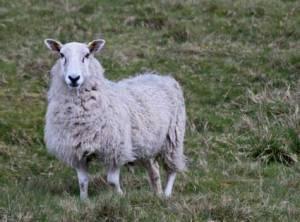 sheep2365
