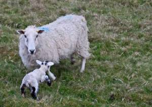 sheep2368