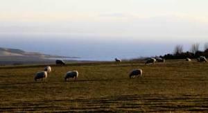 sheep_4926