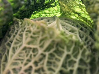 cabbage_9274