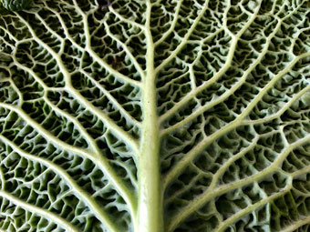 cabbage_9280